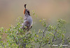 Sing with all your heart (Anne Marie Fraser) Tags: gambelsquail gambels quail arizona desert animal bird tree nature wildlife sing singing call calling