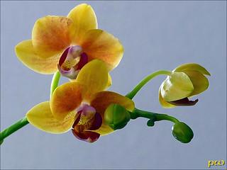 Orchideen(Minis)