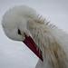 White stork (Weißstorch / Klapperstorch) at Wildpark Poing near Munich, Bavaria, Germany