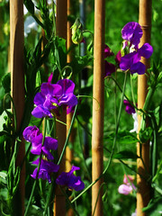 Sweet Pea Dreaming (Steve Taylor (Photography)) Tags: sweetpea bamboo canes garden green brown mauve purple uk gb england greatbritain unitedkingdom london flower