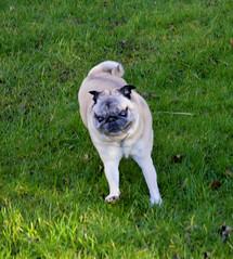 Take Off 2 (kanefairless) Tags: pug run grass green dog animal