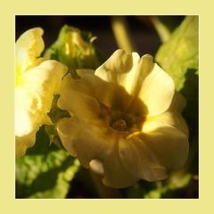 Primel (dorotheazinsser) Tags: 7dwf flora primel gelb
