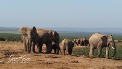 The Big Ones On The Plain (Jan-Krux Photography - thx for 5Mio+ views) Tags: elephants elefanten tier mammal animal saeugetier addo elephantpark sanpark southafricannationalparks southafrica easterncape suedafrika ostkap olympus omd em1 africa afrika