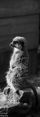 Meerkat (Swift1700) Tags: meerkat black white zoo