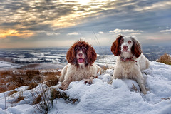 A feeling of being on top of the world! (Missy Jussy) Tags: happiness mollie molliemunch rupert rupertbear pets animals dogs dogwalk dogportrait animalportrait englishspringer springerspaniel spaniel snow winter walkinglandscape blackstoneedge rochdale lancashire canon canon5dmarkll 50mm ef50mmf18ll canon50mm portrait sky sunset grass view
