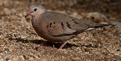 Common Ground-Dove (Columbina passerina) (Joyce Waterman) Tags: common grounddove pigeons doves salton sea california columbina passerina sonny bono national wildlife refuge