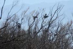 Great Blue Herons and Nests (linda m bell) Tags: pradoregionalpark 2018 birdwatching chino prado birds california socal greatblueherons nests