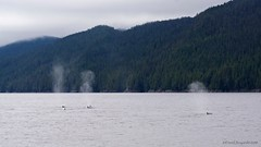 Distant Encounter 2 (Photoski141) Tags: bccanada southboundtransit humpbackwhale