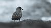 Black and white bonxie (pstani) Tags: europe greatbritain hermaness scotland shetland stercorariusskua unst bird bonxie fauna greatskua skua