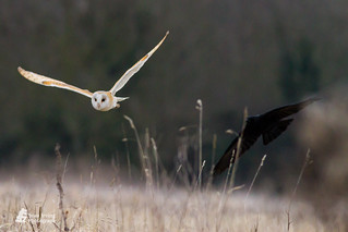 Barn owl being mobbed by a carrion crow