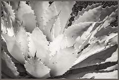 Desert Botanical Gardens IR #5; Agave (hamsiksa) Tags: arizona phoenix desert sonorandesert infrared digitalinfrared infraredphotography blackwhite photos botanicals botany desertplants agaves xerophytes succulents agavaceae abstract abstraction