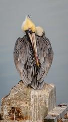 The Contortionist (57rroberts) Tags: brownpelican cedarkey florida shorebird