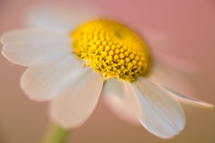 Tiny Chamomile Blossom - Less Than An Inch (MarleenHuber) Tags: macromondays lessthananinch fantasticflower