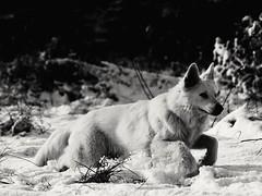 B&W (ISOZPHOTO) Tags: filou bergerblancsuisse weisserschäferhund whiteshepherd hund dog olympus zuiko e3 isoz schweizerschäferhund swissshepherd schäferhund shepherd dogphotography hundefotografie dogatplay vomweissengolde oly olympuse esystem 43 ft fourthirds dslr spiegelreflex schnee snow winter 2018 brilliant gorgeous wow superb hundar hond witteherder chien perro cane whitegermanshepherd gsd wgsd schwarzweis blackwhite bw sw monochrome outdoor mzuiko evolt 70300 isozphoto schneehund snowdog bergerblanc inu sobaka cão whitedog vierbeiner pet haustier