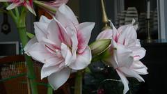 """Amaryllis """"Elvas"""" (jeanlouisallix) Tags: jean louis allix rouen seine maritime haute normandie france amaryllis fleur fleurs plante plantes bulbe bulbes flower flowers elvas"""
