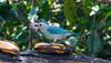 IMG_6002 (jaglazier) Tags: 121417 2017 alambi andes animals birds blue copyright2017jamesaglazier december deciduoustrees ecotourism ecuador finches pichincha quito reservaalambi trees cloudforest distritometropolitanodequito