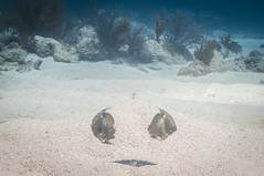 Now You See Me (RoamingTogether) Tags: animalia diving fauna florida floridakeys ikelite ikeliteds51 keylargo molassesreef nikon nikon181053556 nikond300 pennekampstatepark scuba scubadiving stingray watersports