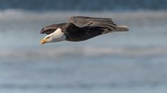 Bald Eagle (Lynn Tweedie) Tags: eagle fly soar blue brown eye wyandotte kansas lake water releasethememo