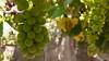Parral (hernancax) Tags: uva vid parral vino fruta espiritu