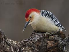 Red Bellied Woodpecker (KvonK) Tags: redbelliedwoodpecker woodpecker riversidepark nature bird wild winter feeding january 2018 kvonk d500 nikon200to500mm 14xtele