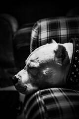 El Perro Dormido (ethan.arreola) Tags: dog pitbull sleeping blackandwhite bnw monochrome pinhole