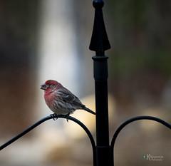 Sunbeam seems to  shine on a Redheaded Finch (Kelly_MR) Tags: bird birds featheredfriends birdsinsnow finch redfinch housefinch seed dof depthoffield sunbeam