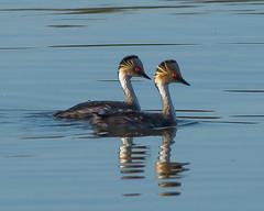 Una linda pareja de Macas Plateadas (Jose Lozada Naturaleza (Argentina)) Tags: patos maca macaplateada nature naturealeza cordoba argentina wild wildlife ducks duck