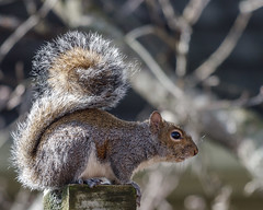Chilling out - Eastern gray squirrel (Sciurus carolinensis) (famasonjr) Tags: easterngraysquirrel sciuruscarolinensis squirrel gray wild wildlife nature outside outdoors winter usa tennessee canoneos7d ef70300mmf456isiiusm