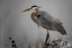 The (He)Art of a Hunter (Selkii's Photos) Tags: ardeaherodias birds california greatblueheron heron lasgallinasponds lasgallinasvalleysanitarydistrict sanrafael unitedstates us
