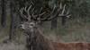 Red deer stag (Joke.Benschop) Tags: animals deer edelhert hert jokebenschop nature natuur reddeerstag veluwethenetherlands wwwjokebenschopcom