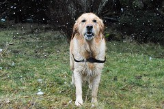 Enjoying morning snowfall ((fiona) thank you for your visit) Tags: snow snowdrops snowfall goldie goldies golden gorgeous retriever loyal love winter outdoors