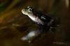 Parsley Frog, Pelodytes punctatus (Matthieu Berroneau) Tags: amphibien gironde 33 anoure ponctué pélodyte pelodytes punctatus arveyres night light sony alpha nature 99 slt tamron 90 macro 28 france amphibian amphibia tail less amphibians sapo herpéto herpeto anura tailless wildlife closeup varliagyviai nuit dark sombre animal animaux ff 24x36 full frame pelodytespunctatus pélodyteponctué 2015 parsleyfrog sapillo moteado común sapillomoteadocomún départementdelagironde aquitaine régionaquitaine sonyalpha99 sonya99 tamronspaf90mmf28dimacro exposition