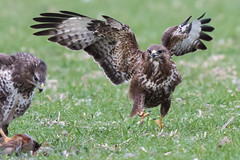 Buzzard feeding Jan 2018 (explored) (jgsnow) Tags: bird raptor buzzard feeding ngc