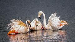 Wild (Dimormar!) Tags: vogels birds watervogels flamingos zwillbrock germany vreden vakantie