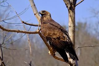 Aigle Royal - Golden Eagle