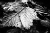 _MG_2789_Pbw (grzegorz_63) Tags: winter leaves hoarfrost makro macro bw nature outside canon70d