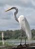 Great Egret (Scott Ableman) Tags: egret egrets greategret greategrets greategrettail delfinii delfinamazoncruises delfinamazonrivercruises lindbladexpeditions