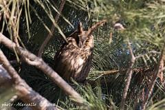 mi vedi? (Alessandro.Gallo) Tags: gufo photoalexgallo occhio orecchie mimetizzato mimetismo volatile uccello rapace