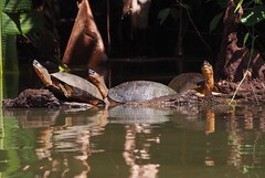 P1260124 (davidpetergibbins) Tags: black river turtle turtles costa rica