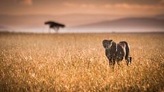 Duma (Dgfosters) Tags: red duma cheetah masai mara africa