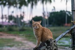 20171214-DSC02725.jpg (CBsoundso) Tags: sitting kedah asia solunaguesthouse pantaicenang cat sony throne animal malaysia carlo southeastasia sunset nature sonyphotography sonyalpha sonyarii langkawi