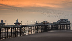 Here come the birds (rob of rochdale) Tags: murmuration starlings birds blackpool pier northwest seaside nature