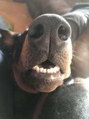 Such Big Teeth........ (firehouse.ie) Tags: tan black canine animal dog k9 male pinscher pinschers dobermanns dobermans dobermann doberman dobeys dobey dobies dobie dobes dobe saxon