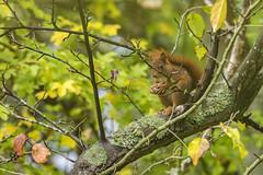 Red squirrel (Richard Holding) Tags: animal automne autumn eure m43 nature normandie normandy olympus omd redsquirrel rongeur squirrel wildlife écureuil écureuilroux