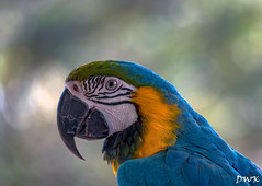 Hello Polly (Don's Photostream) Tags: bluegoldmacaw parrot