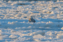 Snowy Owls of New Jersey   2018 - 1 (RGL_Photography) Tags: birding birds birdsofprey birdwatching buboscandiacus gardenstate jerseyshore monmouthcounty mothernature nature newjersey nikonafs600mmf4gedvr nikond500 ornithology owls raptors snowyowl us unitedstates wildlife wildlifephotography beachowl