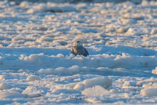 Snowy Owls of New Jersey | 2017 - 34