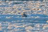 Snowy Owls of New Jersey | 2018 - 1 (RGL_Photography) Tags: birding birds birdsofprey birdwatching buboscandiacus gardenstate jerseyshore monmouthcounty mothernature nature newjersey nikonafs600mmf4gedvr nikond500 ornithology owls raptors snowyowl us unitedstates wildlife wildlifephotography beachowl