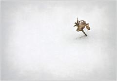 (melolou) Tags: snow texture winter fragile minimal