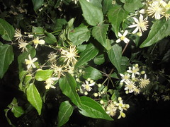 1030 (en-ri) Tags: fiorellini bianco verde foglie leaves little flowers sony sonysti
